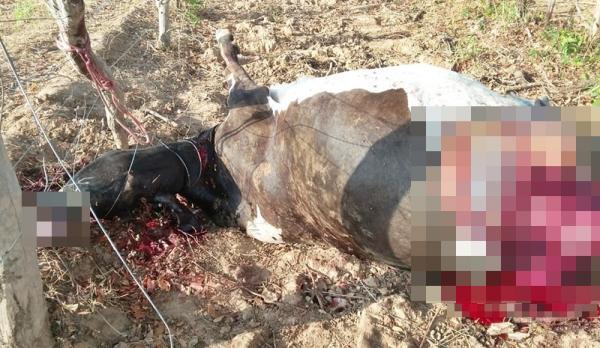 Bandidos invadem chácara, matam e esquartejam vaca em Corrente